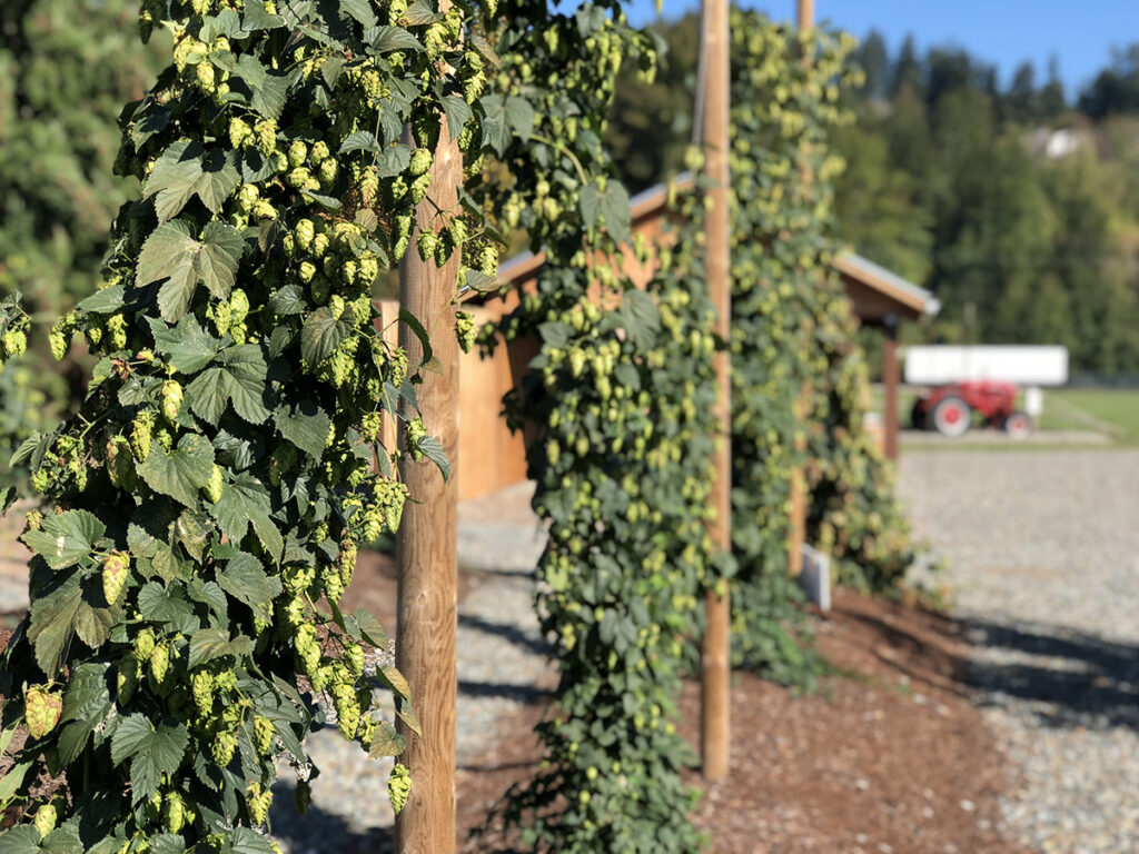 Rows of hop vines hang from poles.