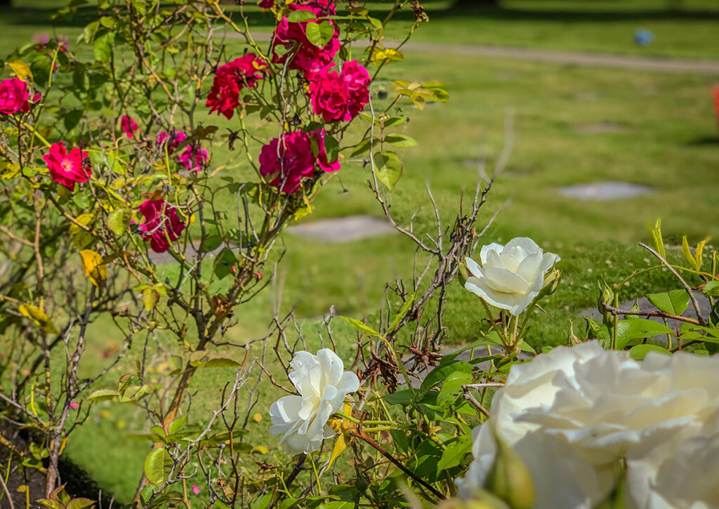 Red and white roses in the foreground with flush markers and grass in the background.